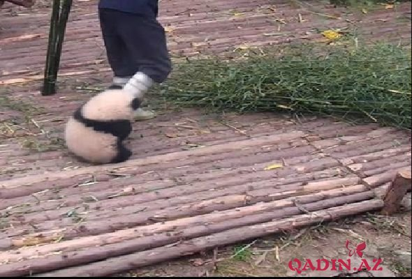 """Yapışqan panda"" ilə video interneti partlatdı – VİDEO"